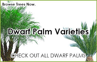 Palm Trees For Dwarf Medium Large