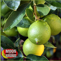 healthy fruit drink fruit trees for sale