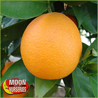 dwarf lemon tree online