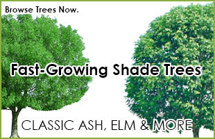 Fast Growing Trees for Sale - Buy Fast Growing Trees Online