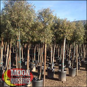 moon valley nursery, african sumac tree, Rhus lancea, buy african sumac tree, big african sumac tree, huge african sumac tree, instant african sumac tree