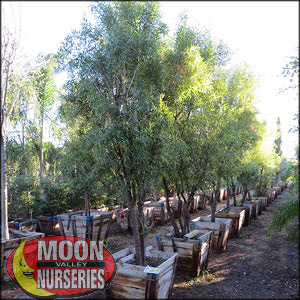 moon valley nursery, african sumac tree, Rhus lancea, buy african sumac tree, big african sumac tree