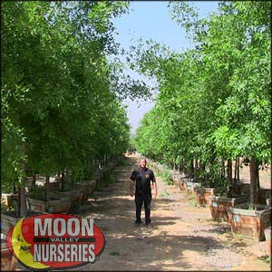 moon valley nursery, arizona ash tree, Fraxinus velutina, buy arizona ash tree, big arizona ash tree