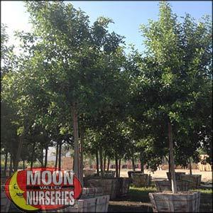 moon valley nursery, arizona ash tree, Fraxinus velutina, buy arizona ash tree, big arizona ash tree, huge arizona ash tree, instant arizona ash tree