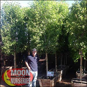 moon valley nursery, arizona ash tree, Fraxinus velutina, buy arizona ash tree, big arizona ash tree