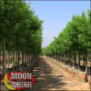 moon valley nursery, berrinda ash tree, Fraxinus velutina 'Berrinda', buy berrinda ash tree, big berrinda ash tree, huge berrinda ash, instant berrinda ash