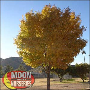 moon valley nursery, berrinda ash tree, Fraxinus velutina 'Berrinda', buy berrinda ash tree, big berrinda ash tree