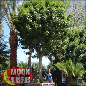 moon valley nursery, brazilian pepper tree, Schinus terebinthifolius, buy brazilian pepper tree, big brazilian pepper tree