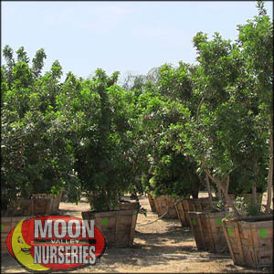 moon valley nursery, brazilian pepper tree, Schinus terebinthifolius, buy brazilian pepper tree, big brazilian pepper tree, huge brazilian pepper tree, instant brazilian pepper tree