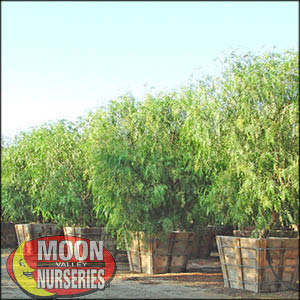 moon valley nursery, california pepper tree, Schinus molle, buy california pepper tree, big california pepper tree, huge california pepper tree, instant california pepper tree