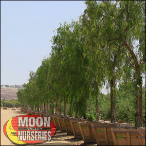 moon valley nursery, california pepper tree, Schinus molle, buy california pepper tree, big california pepper tree