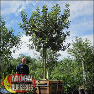 moon valley nursery, carob tree, Ceratonia siliqua, buy carob tree, big carob tree, huge carob tree, instant carob tree