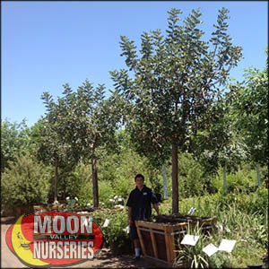 moon valley nursery, carob tree, Ceratonia siliqua, buy carob tree, big carob tree