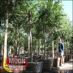 moon valley nursery, chinese elm tree, Ulmus parvifolia, buy chinese elm tree, big chinese elm tree, huge chinese elm tree, instant chinese elm tree