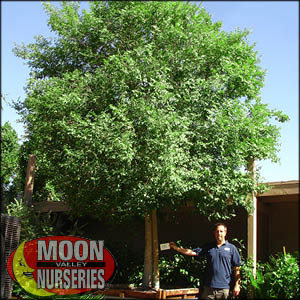 moon valley nursery, chinese elm tree, Ulmus parvifolia, buy chinese elm tree, big chinese elm tree