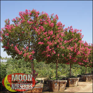 moon valley nursery, crape myrtle tree, cercidium, buy crape myrtle tree, big crape myrtle tree
