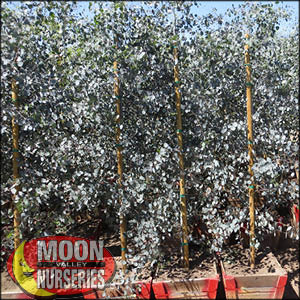 moon valley nursery, Eucalyptus tree, Eucalyptus Spp, buy Eucalyptus tree, big Eucalyptus tree, huge eucalyptus tree, instant eucalyptus tree