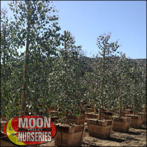 moon valley nursery, Eucalyptus tree, Eucalyptus Spp, buy Eucalyptus tree, big Eucalyptus tree