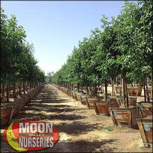 moon valley nursery, fan tex ash tree, Fraxinus velutina fan tex, buy fan tex ash tree, big fan tex ash tree