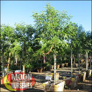 moon valley nursery, fan tex ash tree, Fraxinus velutina fan tex, buy fan tex ash tree, big fan tex ash tree, huge fan tex ash tree, instant fan tex ash tree
