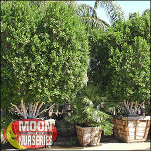 moon valley nursery, ficus tree, ficus nitida, buy ficus tree, big ficus tree, huge ficus tree, instant ficus tree