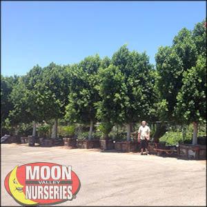moon valley nursery, ficus tree, ficus nitida, buy ficus tree, big ficus tree