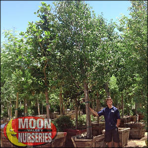 moon valley nursery, flowerting pear tree, Pyrus kawakamii, buy flowerting pear tree, big flowerting pear tree