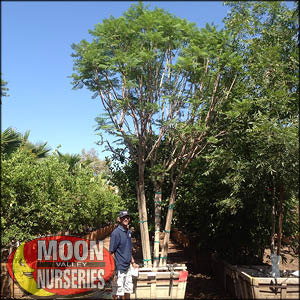 moon valley nursery, jacaranda tree, Jacaranda mimosifolia, buy jacaranda tree, big jacaranda tree, purple flowering tree, huge jacaranda tree, instant jacaranda tree