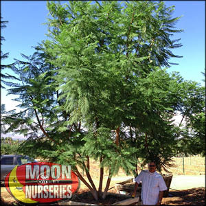 moon valley nursery, jacaranda tree, Jacaranda mimosifolia, buy jacaranda tree, big jacaranda tree, purple flowering tree