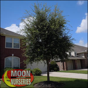 moon valley nursery, live oak tree, Quercus virginiana, buy live oak tree, big live oak tree