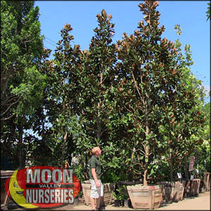 moon valley nursery, magnolia tree, Magnolia grandiflora, buy magnolia tree, big magnolia tree, flowering tree, white flowering tree, huge magnolia tree, instant magnolia tree