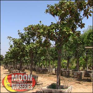 moon valley nursery, magnolia tree, Magnolia grandiflora, buy magnolia tree, big magnolia tree, flowering tree, white flowering tree