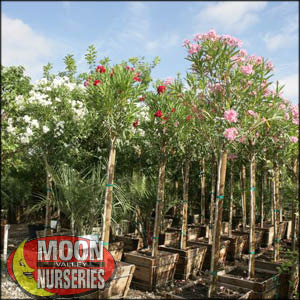 moon valley nursery, oleander tree, Nerium oleander, buy oleander tree, big oleander tree, flowering tree, white flowering tree, red flowering tree, pink flowering tree, huge oleander tree, instant oleander tree