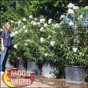 moon valley nursery, oleander tree, Nerium oleander, buy oleander tree, big oleander tree, flowering tree, white flowering tree, red flowering tree, pink flowering tree