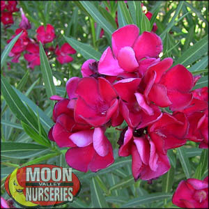 moon valley nursery, oleander tree, Nerium oleander, buy oleander tree, big oleander tree, flowering tree, white flowering tree, red flowering tree, pink flowering tree