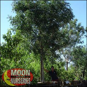 moon valley nursery, chinese pistache tree, Pistacia chinensis, buy chinese pistache tree, big chinese pistache tree, big chinese pistache tree for sale, huge chinese pistache tree, instant chinese pistache tree