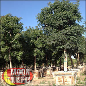 moon valley nursery, chinese pistache tree, Pistacia chinensis, buy chinese pistache tree, big chinese pistache tree, big chinese pistache tree for sale