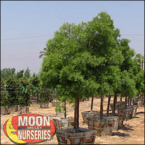moon valley nursery, podocarpus tree, Podocarpus henkelii, buy podocarpus tree, big podocarpus tree, big podocarpus tree for sale