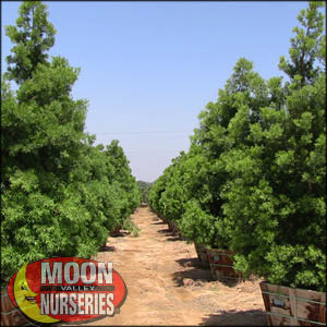 moon valley nursery, podocarpus tree, Podocarpus henkelii, buy podocarpus tree, big podocarpus tree, big podocarpus tree for sale, huge podocarpus tree, instant podocarpus tree