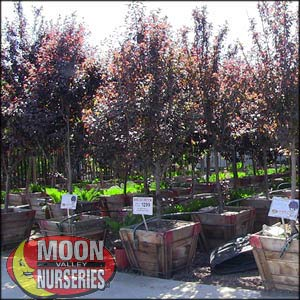 moon valley nursery, purple leaf plum tree, Prunus cerasifera, buy purple leaf plum tree, big purple leaf plum tree, big purple leaf plum tree for sale, huge purple leaf plum tree, instant purple leaf plum tree
