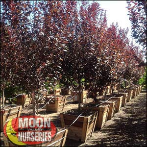moon valley nursery, purple leaf plum tree, Prunus cerasifera, buy purple leaf plum tree, big purple leaf plum tree, big purple leaf plum tree for sale