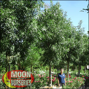 moon valley nursery, raywood ash tree, Fraxinus Oxycarpa, buy raywood ash tree, big raywood ash tree, big raywood ash tree for sale
