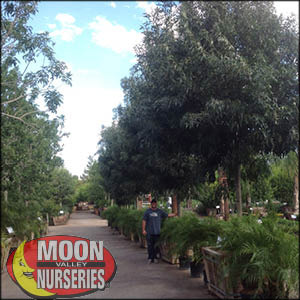 moon valley nursery, raywood ash tree, Fraxinus Oxycarpa, buy raywood ash tree, big raywood ash tree, big raywood ash tree for sale, huge raywood ash tree, instant raywood ash tree