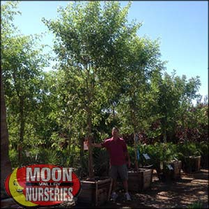 moon valley nursery, sissoo tree, dalbergia sissoo, buy sissoo tree, huge sissoo tree, instant sissoo tree