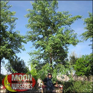 moon valley nursery, sissoo tree, dalbergia sissoo, buy sissoo tree, big sissoo tree