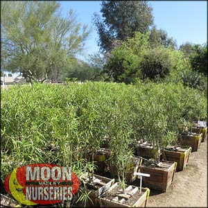 moon valley nursery, thevetia tree, Thevetia peruviana, buy thevetia tree, big thevetia tree, big thevetia tree for sale, huge thevetia tree, instant thevetia tree