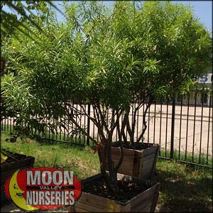 moon valley nursery, thevetia tree, Thevetia peruviana, buy thevetia tree, big thevetia tree, big thevetia tree for sale
