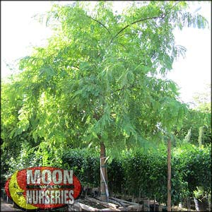 moon valley nursery, tipu tree, tipuana tipu, buy tipu tree, big tipu tree