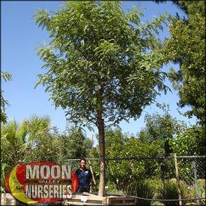 moon valley nursery, tipu tree, tipuana tipu, buy tipu tree, big tipu tree, huge tipu tree, instant tipu tree